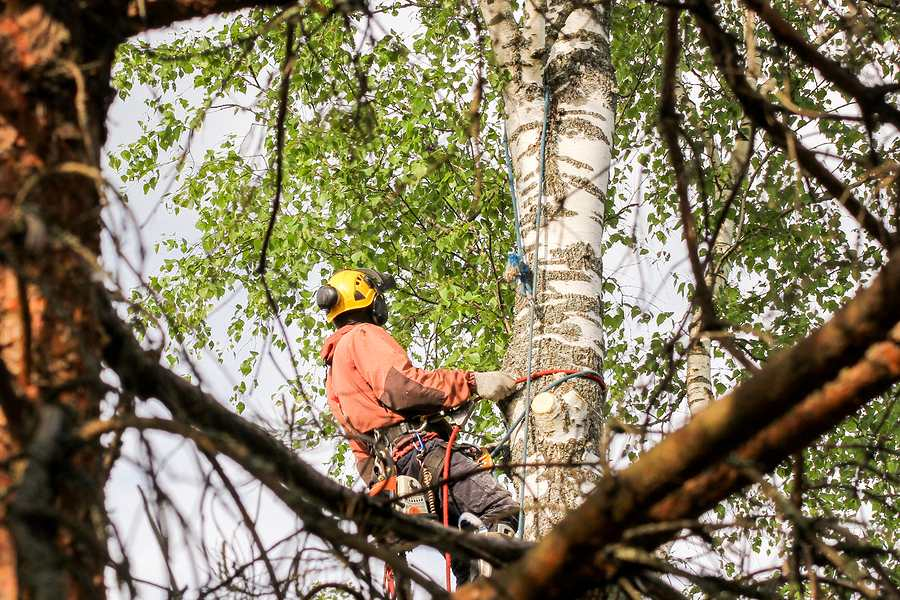 Arborist checking the health of a tree